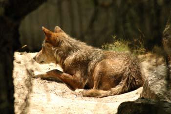 El último lobo del Cerral - Cuento en busca de un final